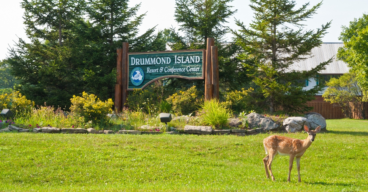 The deer on Drummond Island are unafraid of people and often hang around the Drummond Island Resort and golf course. Photo courtesy Drummond Island Resort & Conference Center.