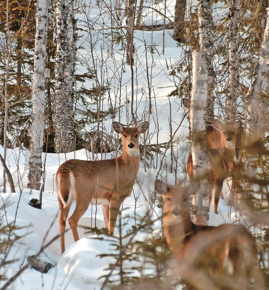 Whitetail deer forage amid the snow beside the Gunflint Trail. Photo courtesy Explore Minnesota Tourism.